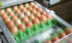 Foto: Eier auf einem Fließband